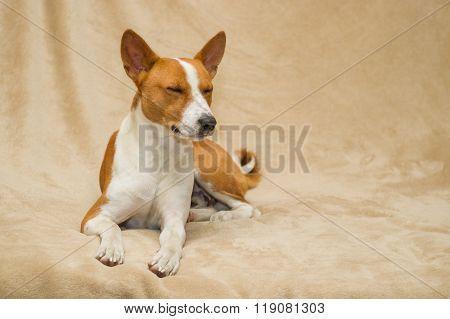 Portrait of sleeping basenji