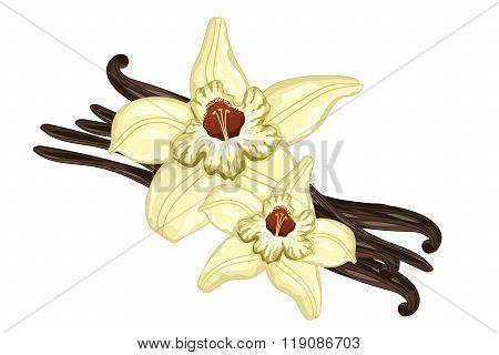 Vanilla sticks or pods with vanilla flower on white background. Isolated vanilla sticks vector illustration. Cartoon vanilla flower and vanilla pod. Vanilla bean isolated.