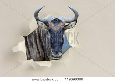 Wildebeest Looking Through A Hole Torn The Paper