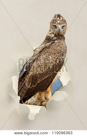 Tawny Eagle (aquila Rapax) Looking Through A Hole Torn The Paper