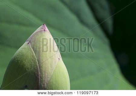Nelumbo Nucifera, Sacred Lotus Bud