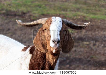 Goat Portrait In Nature