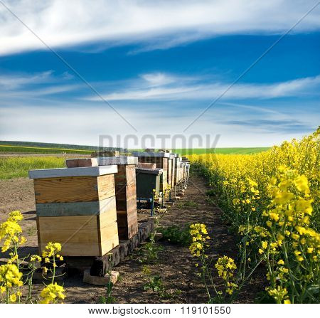 Hives near the blooming rapeseed field