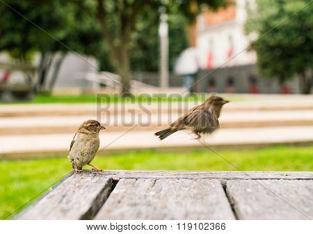 soaring sparrow