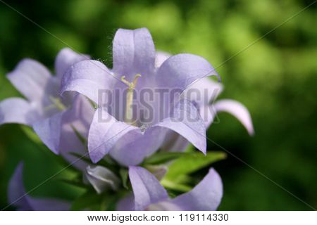 Blue Bellflower Wallpaper