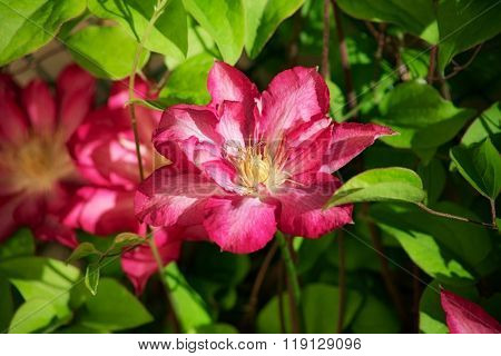 Beautiful flower clematis in the garden. close-up