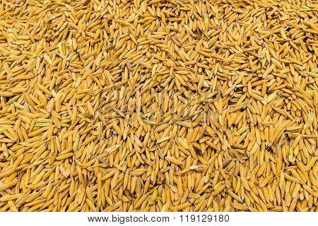 Jasmine paddy rice