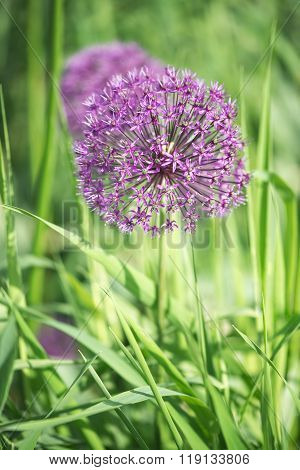 beautiful flower of purple Allium