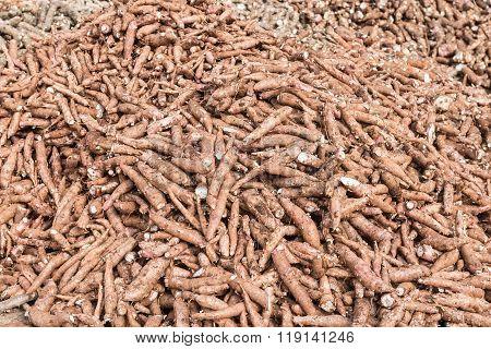 Cassava Plant