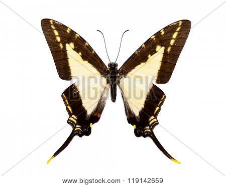 Beautiful tailed butterfly with black and light yellow wings isolated on white.  Eurytides (dioxippus diores or leucaspis)