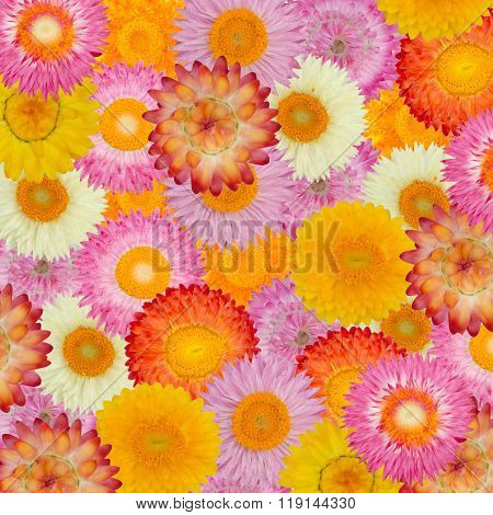 Straw Flower Or Everlasting  Background