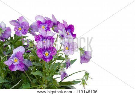Viola Cornuta Flower Isolated On White Background