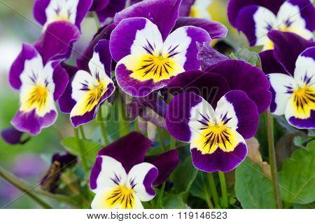 Viola Cornuta, Horned Pansy, Tufted Pansy