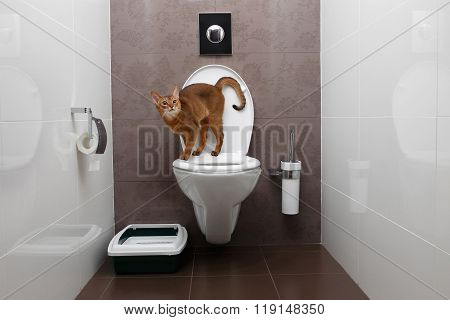 Curious Abyssinian Cat Uses Toilet Bowl