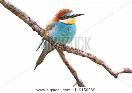 Paradise bird on a branch