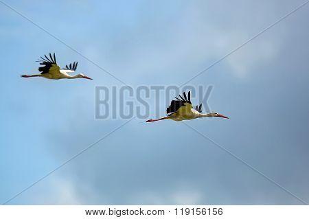 White storks in the flight