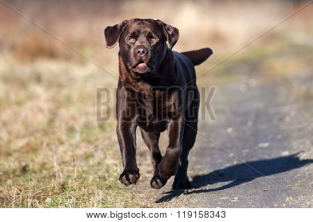 brown labrador dog outdoors