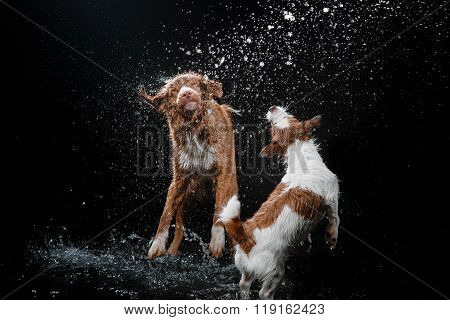 Dog Jack Russell Terrier And Dog Nova Scotia Duck Tolling Retriever, Dogs Play, Jump, Run, Move In W