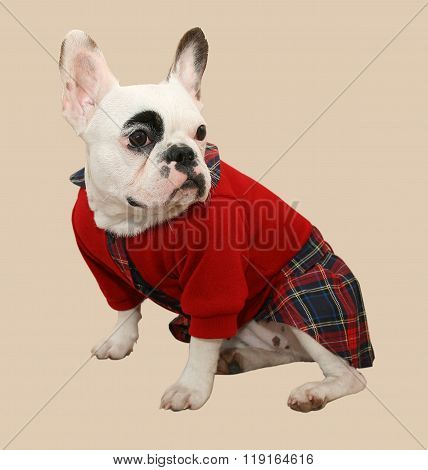 French Bulldog In Clothes