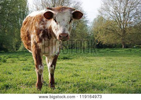 Bull Calf, English Longhorn