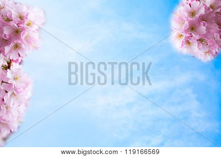background with Beautiful pink cherry blossom or Sakura flowers on the Blue cloudy sky