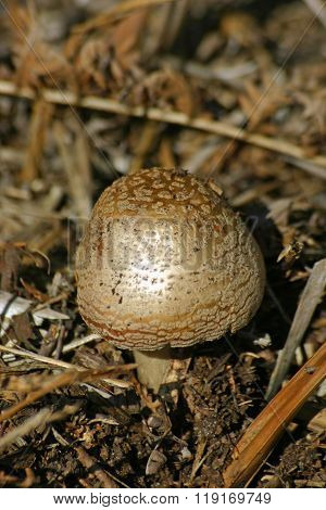 Emerging Mushroom
