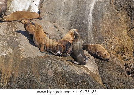 Stellar Sea Lions On A Remote Island