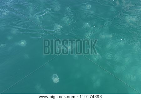 Moon Jellyfish Swarming On The Surface