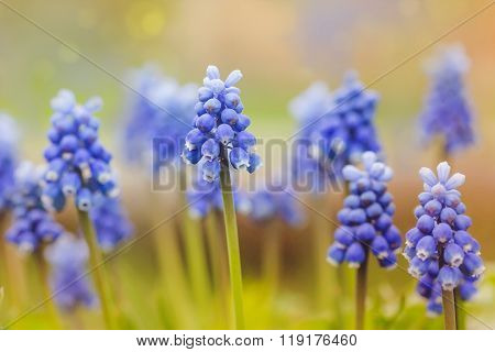 Muscari Flowers In Sunset Defocused Spring Background.