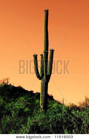Saguaro cactus in Sonoma Desert Arizona