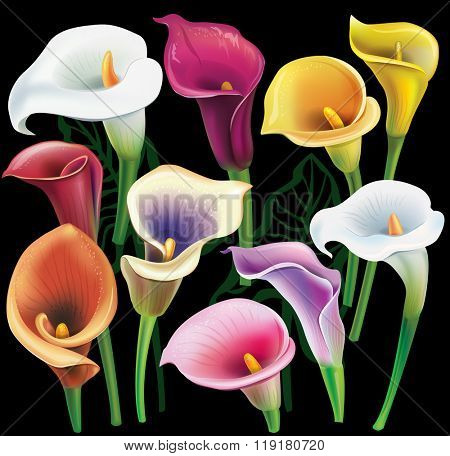 Calla flowers set in different colors