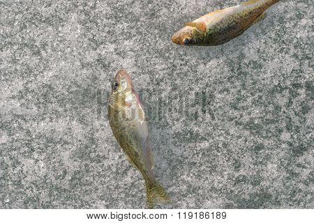 Fishs On Ice