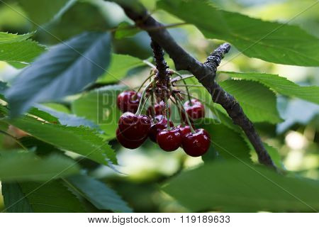 Sweet Cherry On A Branch