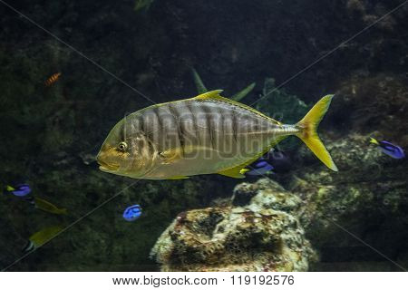 Golden Trevally fish