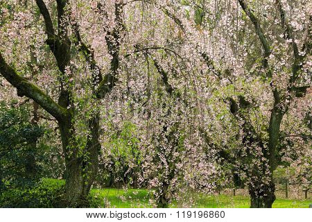 Garden full of weeping Japanese Sakura cherry blossom trees with pink flowers during spring in Kyoto, Japan