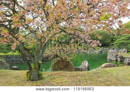 Sakura blossoming at Ninomaru Garden with ornamental stones in a large pond, traditional Japanese garden of the Nijo Castle during spring in Kyoto, Japan.