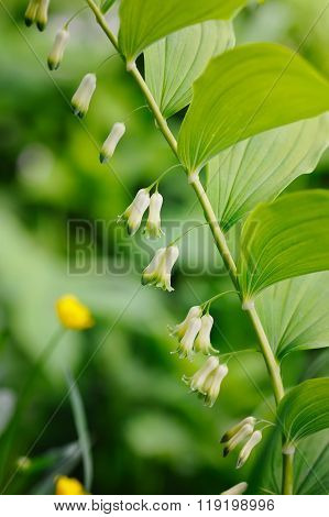 A Flowering Polygonatum (solomon's Seal) Plant Growing In The Forest