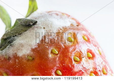 Close Up Shot Of Old Strawberry With White Mould
