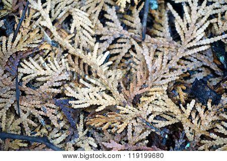 Fallen Cedar Leaves