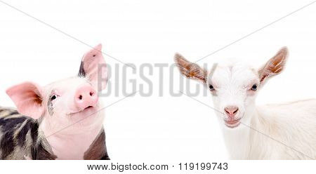 Portrait of piglet and goat