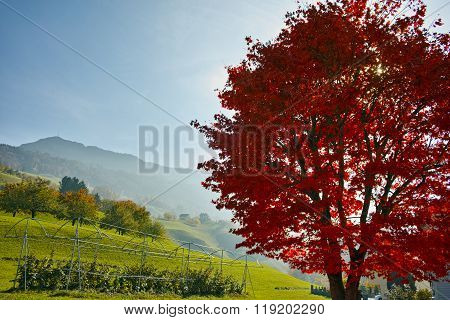 Red autumn tree near mount Rigi, Alps, Switzerland
