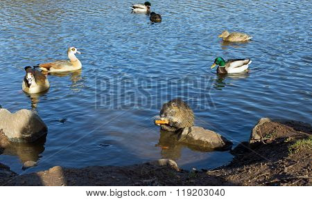 Coypu (nutria), ducks and egyptian geese