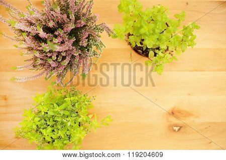 Blurred image. Culinary herbs are growing in pot.