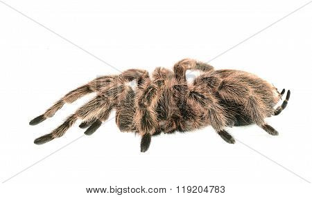 Chilean Rose Tarantula Grammostola Rosea Isolated