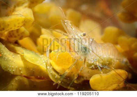 Common baltic shrimp in natural environment. Transparent shrimp closeup over pebbles.