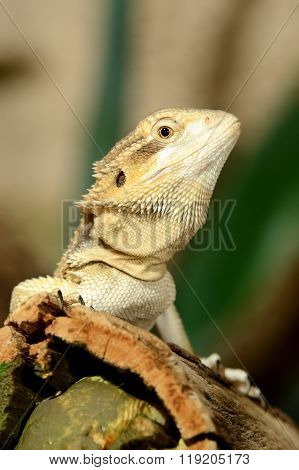 sand agama sitting on a stick in terrarium
