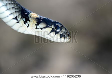 Common grass snake (Natrix natrix) leaning from top left corner over blurred background