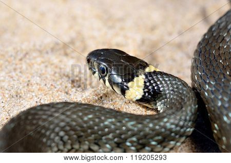 Common grass snake (Natrix natrix) close-up. Black snake with shiny scales.