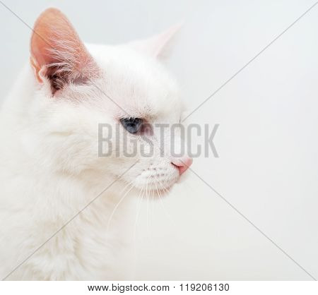 Portrait Of White Cat With Different Eyes