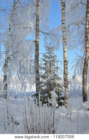 Birch Trees And Fir Trees In Rime On A Clear Winter Day